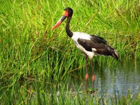 Saddlebilled Stork. St Lucia Birdwatching, South Africa