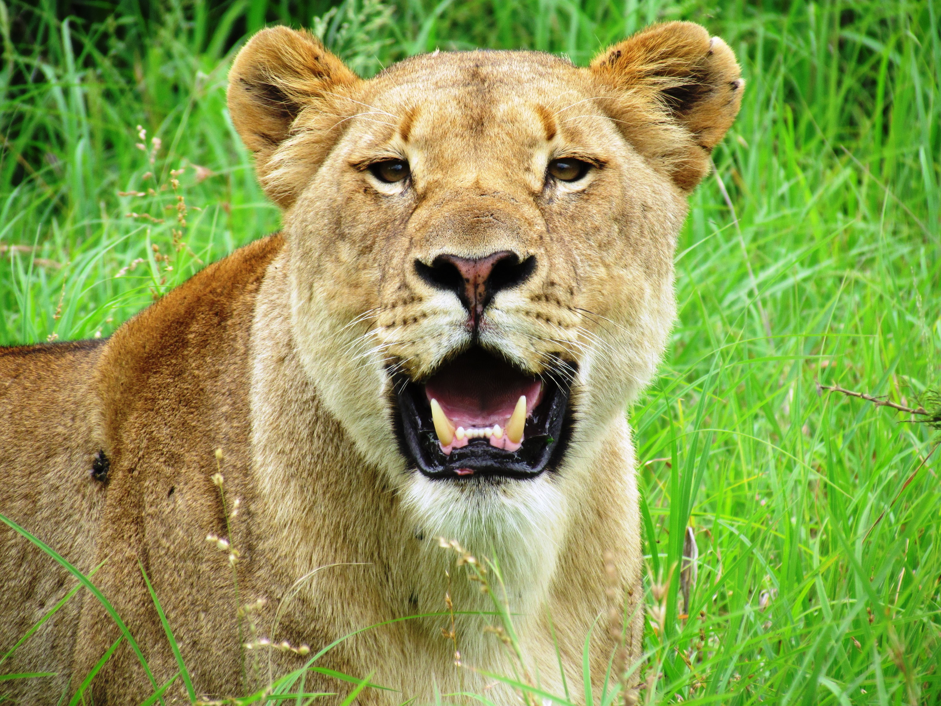 Royalty Free Pictures of Lions