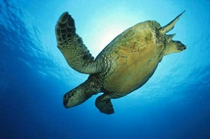 Swim with turtles in South Africa